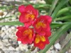 Freesia Hybrida (Red)