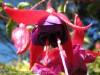 Fuchsia Hybrida (Red-Purple)
