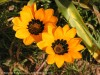 Gazania Krebsiana (Orange-Black) (1)