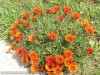 Gazania Krebsiana (Orange-Black) (2)