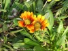 Gazania Longiscapa (Orange-Red)