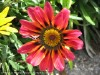 Gazania Longiscapa (Pink-Orange-Black)