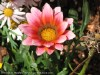 Gazania Longiscapa (Pink-Orange-Gray)