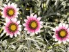 Gazania Longiscapa (Purple-Pink-Orange)