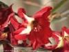 Gladiolus Hybrid (Red-Yellow)