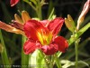 Hemerocallis Hybrida (Red)