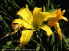 Hemerocallis Hybrida (Yellow)