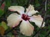 Hibiscus (Pink-Red) (2)