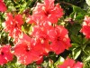 Hibiscus (Red) (1)