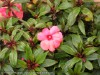 Impatiens New Guinea (Pink) (1)
