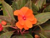 Impatiens New Guinea (Red)