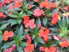 Impatiens New Guinea (Red) (2)