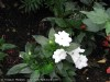 Impatiens New Guinea (White) (2)