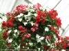 Impatiens Sultanii (Mixed) (2)
