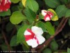 Impatiens Sultanii (Red-White) (2)