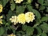 Lantana Camara (White-Yellow)