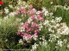 Matthiola Incana (Mixed)