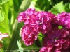 Matthiola (Purple) (1)