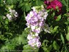 Matthiola (Purple) (2)