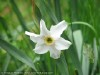 Narcissus Pseudonarcissus (White-Yellow)