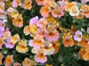 Nemesia Strumosa (Pink-Orange-White)