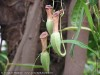 Nepenthes (2)