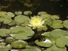 Nymphaea (Yellow) (2)