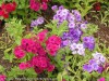 Phlox Drummondii (Mixed) (2)