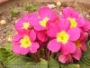 Primula Cultivars (Pink-Yellow)