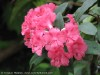 Rhododendron (Pink) (3)