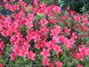 Rhododendron (Red) (1)
