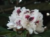 Rhododendron (White-Bourdeaux)