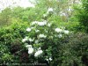 Rhododendron (White) (1)