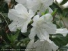 Rhododendron (White) (2)
