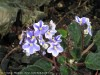 Saintpaulia Ionantha (White-Purple) (3)