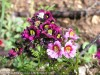 Schizanthus Pinnatus (Purple-Yellow) (1)