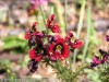 Schizanthus Pinnatus (Red-Yellow)