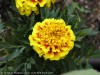 Tagetes (Yellow-Bourdeaux)