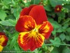 Viola Tricolor (Red-Yellow) (2)